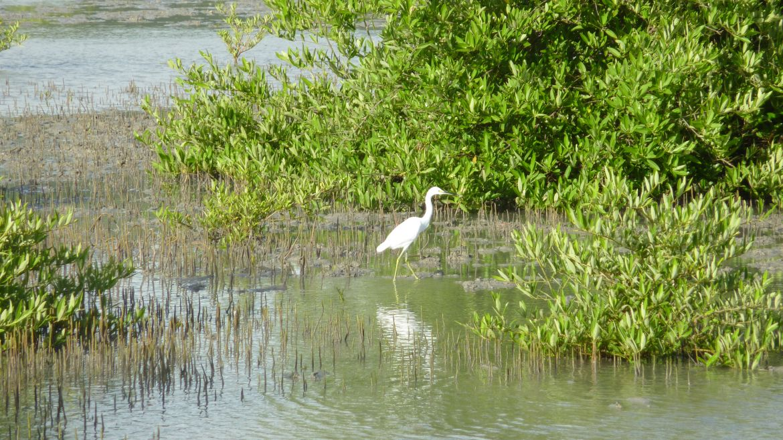 Mangrove de la Baie des Anglais en Martinique
