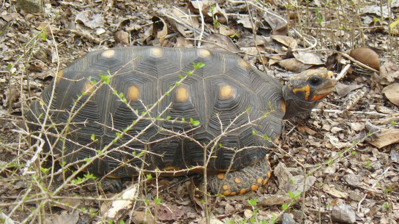 Tortue de terre sur l'ilet Baradal - Tobago Cays
