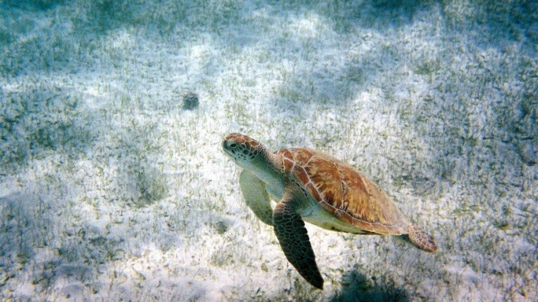 Tortue marine dans les herbiers de la Réserve des Tobago Cays - Grenadines
