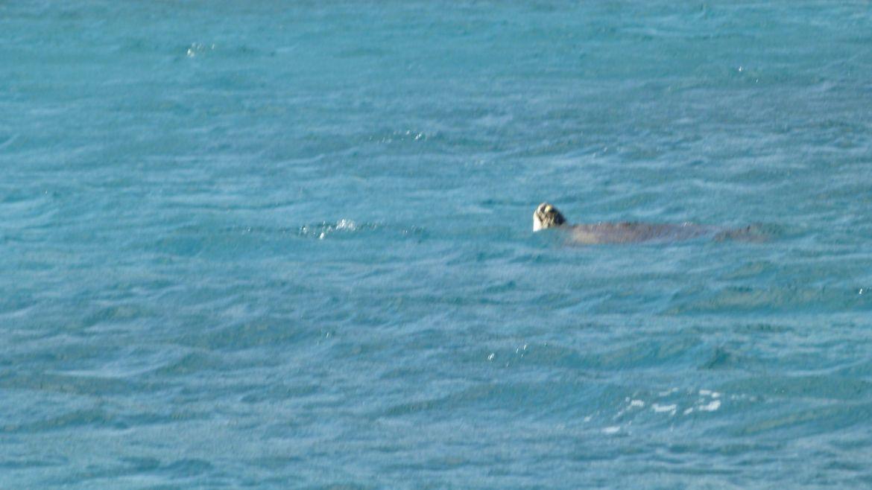 Tortue vue depuis le bateau mouillé à Chatham Bay - Union - Grenadines